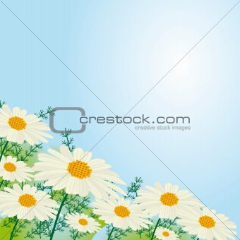 Chamomile flowers against the sky