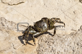 Adriatic Sea crab