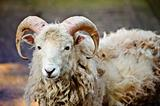 Southdown sheep ram