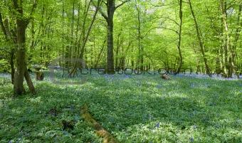 Beautiful fresh Spring bluebell woods