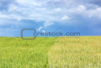 Green wheat field background.