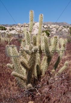Antler cholla cactus