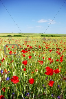 Poppies in  wheat field.