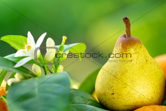 Rocha pear on green background.