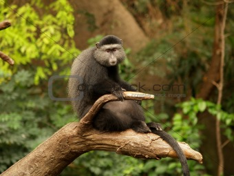 Lone Monkey on a Limb