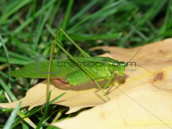 Broad-winged Katydid (Microcentrum rhombifolium)