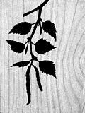 vector  silhouette of the branch of the birch on wood background