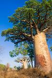Baobab tree, Madagascar