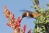 Male Blackchin Hummingbird feeding on Ocotillo Flowers