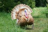 "courting Turkey,""Meleagris gallopavo"""