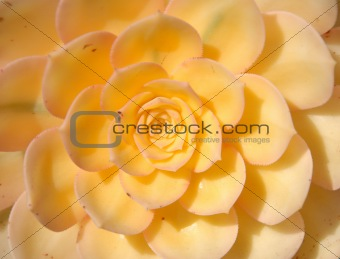 bright yellow Succulent Plant