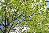 sheet of the oak
