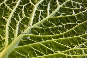 Cabbage leaf underside