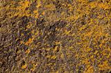 yellow lichens and black stone background