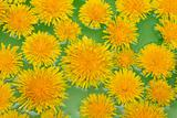 Yellow dandelions sail on green water