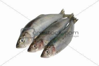 three fresh herrings