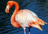 Pink Flamongo