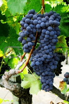 Grape cluster on a vine