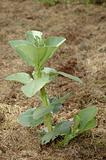 Broad bean plant