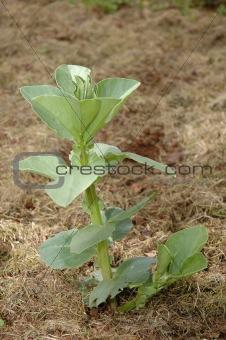 Broad bean plant