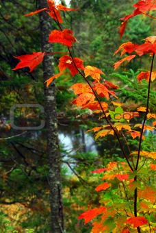 Fall forest and river