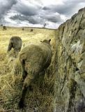 Sheep, Tasmania