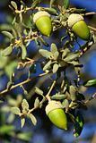 acorns of the tree