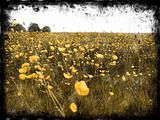 Decayed Buttercup Fields