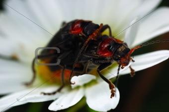 Couple beetles