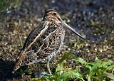 Common Snipe (Capella gallinago}