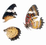 Scan of Butterfly wings