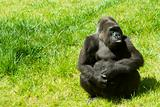 Gorilla on the grass