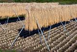 Rice Stalks III