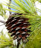 Brown pine cone