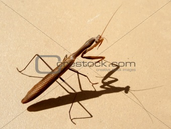 Praying Mantis on the orange background