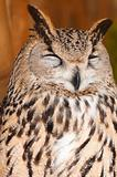 Bubo bubo sibiricus