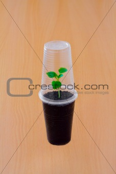 Small green sprout under plastic cup