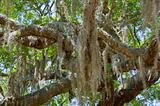 Spanish Moss in Oak Tree