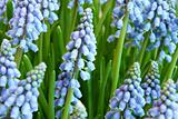 Hyacinthus orientalis