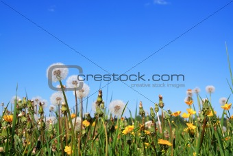 dandelions on field