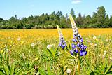 lupines on yellow field