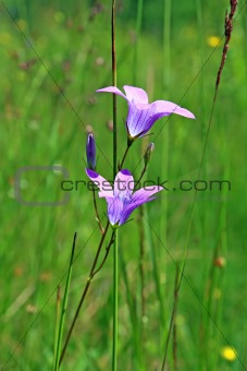 campanula on green background