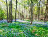 Sunbeams through forest canopy on carpet of bluebells