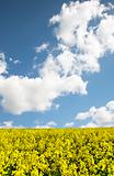 Colorful vibrant rapeseed field against vivid blue Summer sky