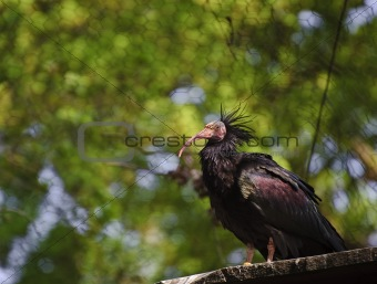 Close up of rare bald ibis bird in captivity on breeding program