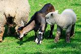 Spring lamb and goat kid grazing together