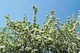 Flowering cherry on a background of blue sky