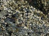 acorn barnacles