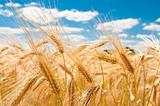 gold wheat and blue cloudy sky