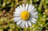 Daisy with pollen
